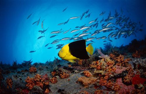 Black and Yellow Fish in Sea Photo Background