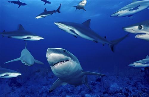 Group of Shark in Sea HD Wallpaper Background