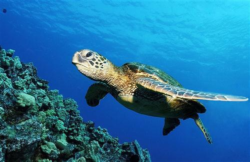 Ocean Turtle HD Wallpaper