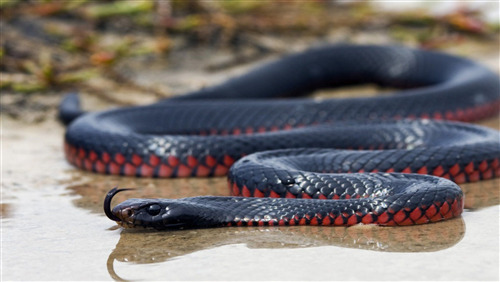 Photo of Blue Mamba Snake