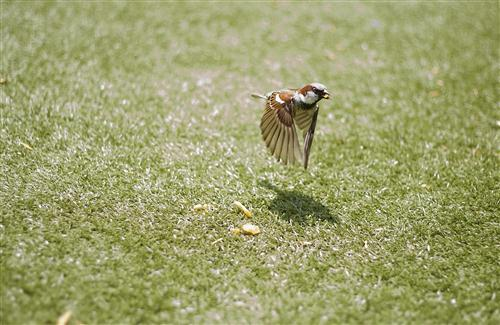 Bird Sparrow Flying Photo