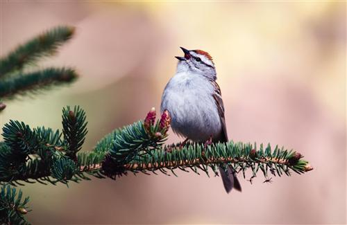 Chipping Sparrow Pics