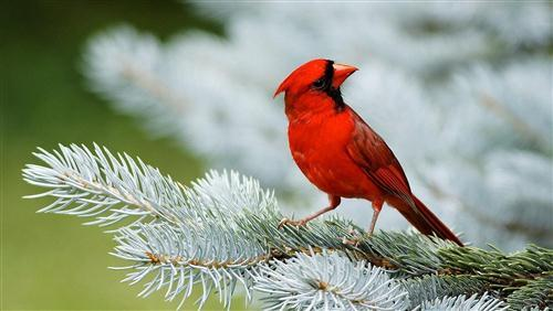Red Bird Sparrow