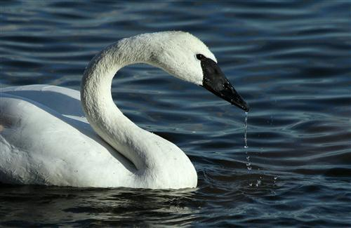 Swan CloseUp Photo