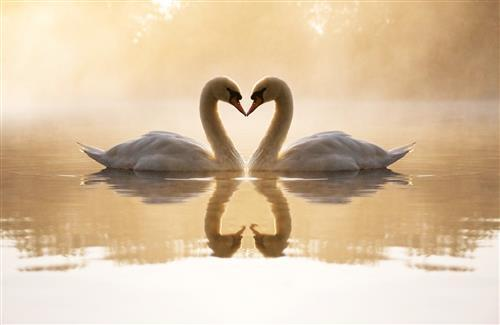 Two Cute Loving White Swans in Lake Wallpapers