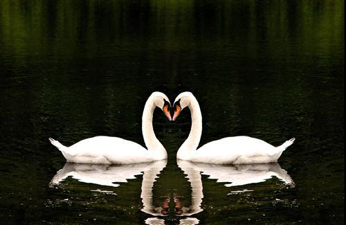 Two White Swan Bird in Water Image