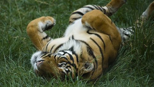 Animal Tiger Enjoy in Green Grass