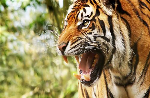 Animal Tiger HD Desktop Background Wallpapers