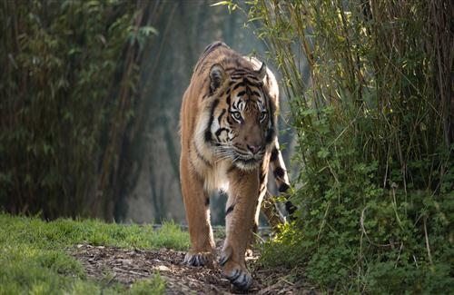 Animal Tiger in Jungle