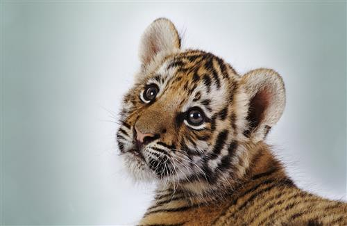 Beautiful Cute Small Baby Tiger Cub HD Wallpapers