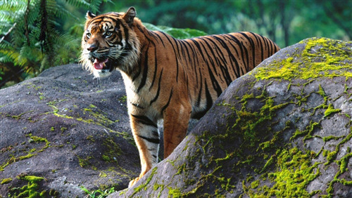 Download Image of Animal Tiger