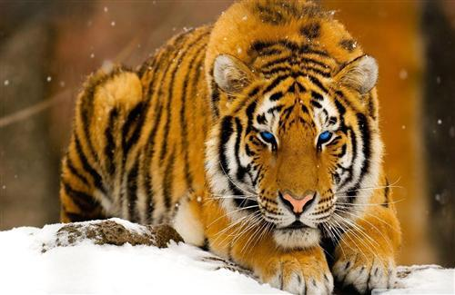 Snowy Tiger With Blue Eye