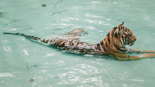 Tiger Swimming in Water 5K Wallpaper
