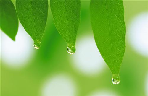 Beautiful Water Drops from Green Leaf