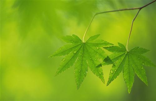 Green Leaf Background Wallpaper