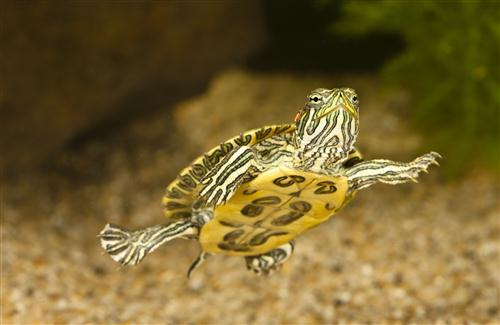 Baby Turtle in Sea Wallpaper