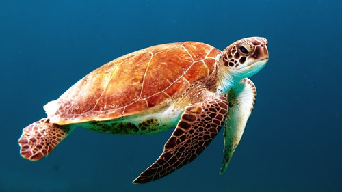 Beautiful Turtle HD Wallpaper