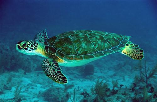 Green Turtle Swimming in Sea