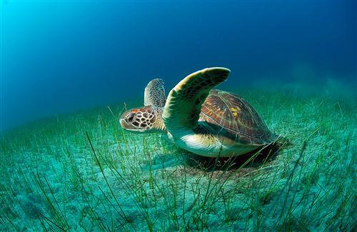Photo of Turtle in Sea