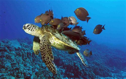 Turtle with Black Fish in Sea