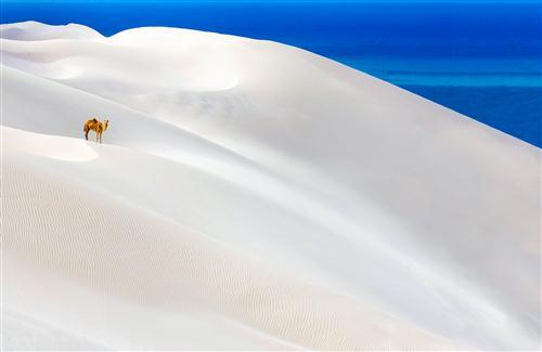 Beautiful White Desert and Camel Wallpaper