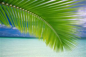 Coconut Tree Leaf at Beach