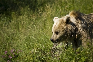 Animal Bear Photo