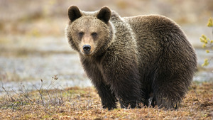 Animal Bear Superb Wallpaper