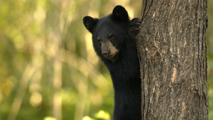 Animal Black Bear Wallpaper