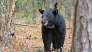 Animal Black Bear in Forest