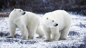 Animal Polar Bear Wallpaper