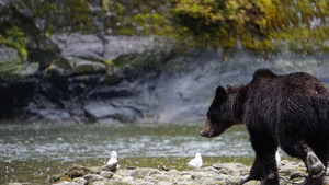 Black Bear Going to Drink Water