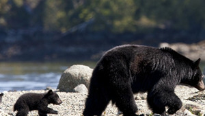 Black Mother Bear with Child at Shore