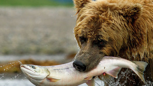 Brown Bear Eating Fish in River