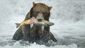Brown Bear Eating Fish in Water