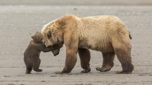 Child Bear Play With His Mother