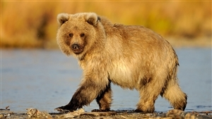 Cute Animal Bear Baby