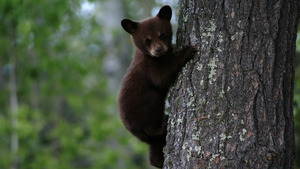 Cute Bear Cub on Tree