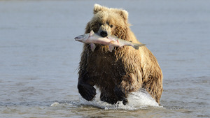 Fish in Bear Mouth and Running in Sea