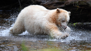 Lovely White Bear Baby Playing in Water