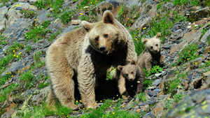 Mother Bear with 2 Little Cub Baby