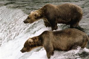 Two Black Bear Looking for Fish