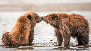 Two Brown Bear Kissing