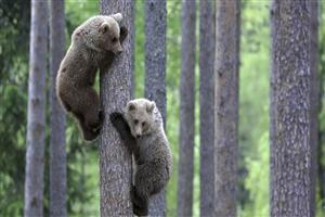 Two Brown Bears Climbing in a Tree Image