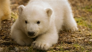 White Animal Bear Baby Close Up Face