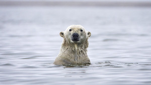 White Bear in Sea