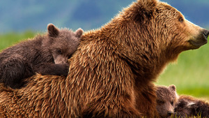 Wildlife Bear Family