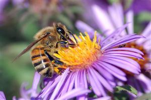 Animal Bee on Purple Flower
