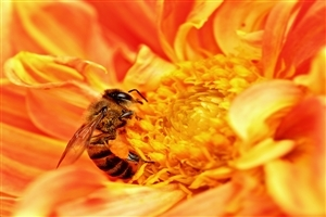 Bee in Orange Flower Photo