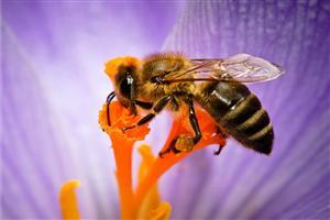 Bee on Purple Flower Image